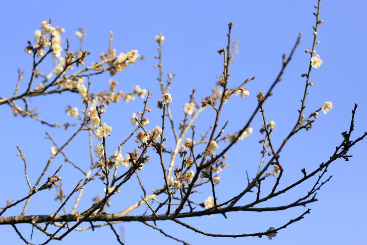 Sky Plant Low Angle View Clear Sky Flower Flowering Plant Tree Growth Beauty In Nature Day Branch Nature No People Blue Outdoors Sunlight Fragility White Color Focus On Foreground Blossom Springtime Spring Cherry Blossom