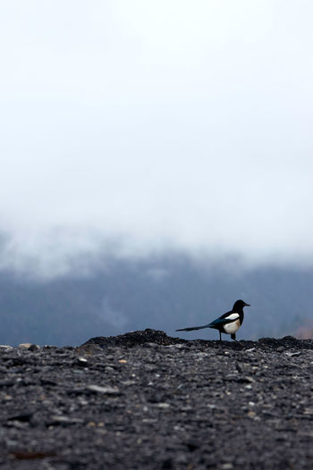 Bird in the wild Nature Beauty In Nature Bird Bird Photography Cloud Fog Clouds And Sky Outdoors Day Magpie Magpie Bird Animals In The Wild Animal Wildlife Animal Themes One Animal Animal Vertebrate Selective Focus Side View No People Sky Scenics - Nature Mountain Copy Space
