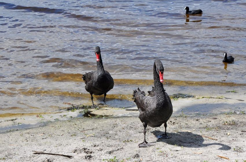 Two black swans emerging from Bibra Lake with two eurasian coots in the waters in Western Australia. Animal Themes Animal Wildlife Animals In The Wild Avian Beach Beak Bibra Lake Western Australia Bird Black Color Black Swan Day Eurasian Coots Friendly Lake Nature Outdoors Pair Red Sand Swan Walking Water Western Australia White Meat Wildlife