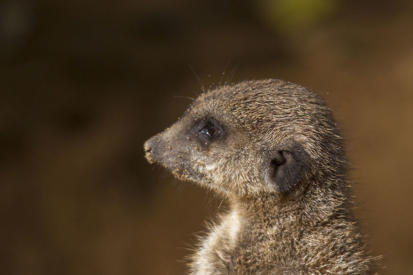 One Animal Animal Wildlife Animal Themes Animal Mammal Animals In The Wild Close-up No People Animal Body Part Animal Head  Focus On Foreground Vertebrate Looking Meerkat Day Nature Looking Away Outdoors Rodent Brown Whisker Animal Eye