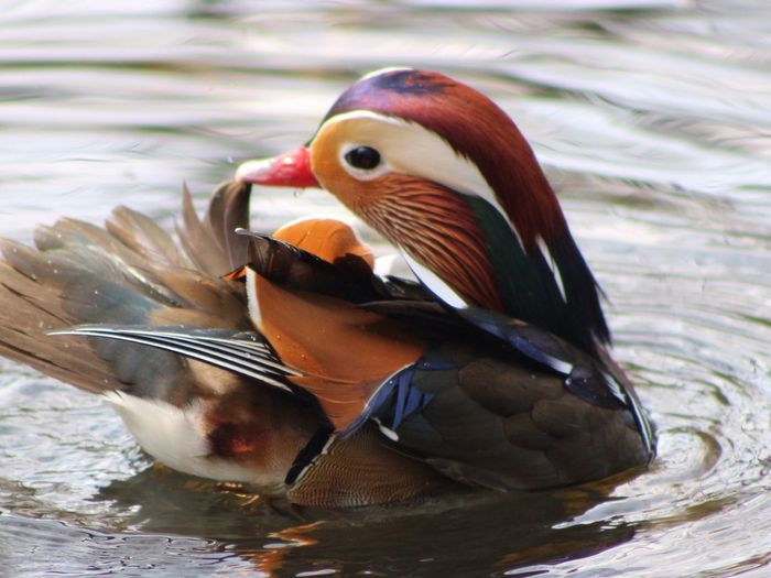 Mandarin Duck Nature Beautiful Ipswich Suffolk United Kingdom Holywells Park Birds