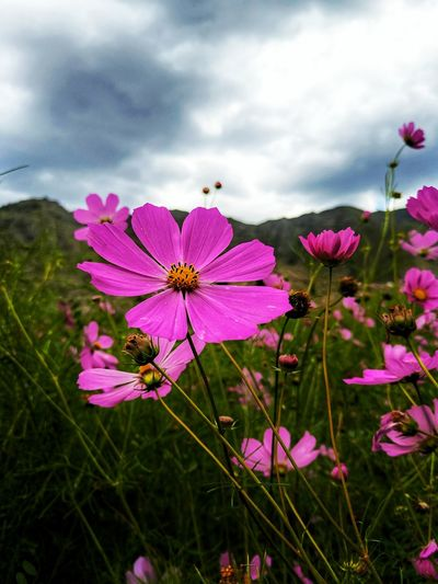 Close-up of pink cosmos flowers blooming on land