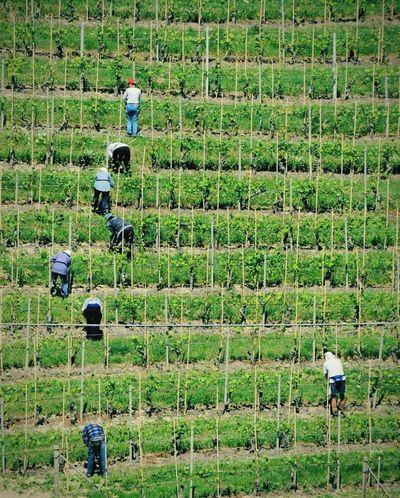 Vineyard Vineyards  In The Vineyard Italy Working Winecountry The EyeEm Facebook Cover Challenge