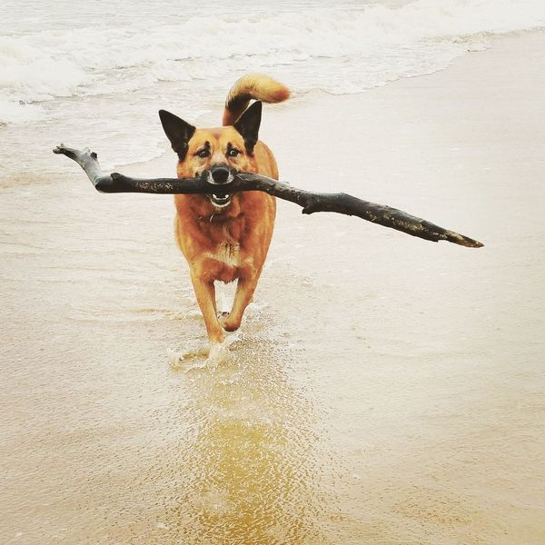 Red cattledog fetching stick Sand Fetching Red Heeler Fetch Stick Blackandwhite Photography Cattledog Domestic Dog Domestic Animals Water Pets Pet Bay Ocean Seaside Sea Beach Life Playing Doggie Dog Love Dogs Of EyeEm Dogs Dog Dog❤ Dogslife