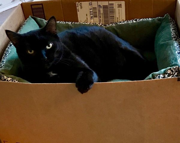 Beautiful Bombay cat relaxing in cardboard box Pets Domestic Animals Cardboard Box Domestic Cat One Animal Animal Themes Box - Container Mammal Indoors  No People Cardboard Day lover feral stray short hair medium fur American stock photo picture house home outdoor Black color green eyes cutest companion breeds carnivore zoology Comfort playful satin fur kitty kitten whiskers lying down White Spot on chest paws Bombay