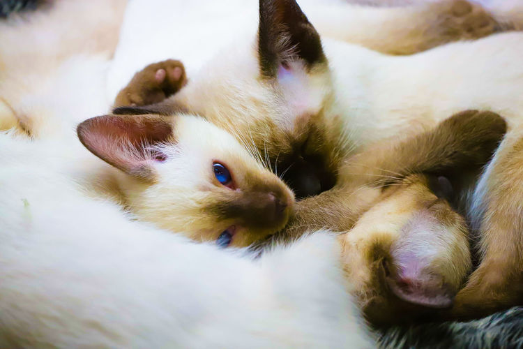 Litter mates snoozin Blue Eyes Pets Portrait Dog Looking At Camera Close-up Kitten Domestic Cat Cat Feline Whisker Sleeping Young Animal Paw My Best Photo