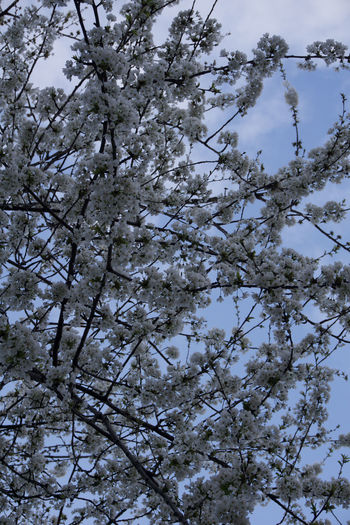 white tree blossom under blue sky Manchester Day Plant Tree Low Angle View Growth Beauty In Nature Branch No People Flower Flowering Plant Backgrounds Nature Springtime Full Frame Fragility Tranquility Blossom Vulnerability  Outdoors Freshness Cherry Blossom