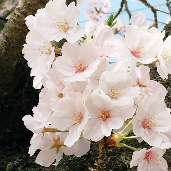 ❀桜❀ ぽふぽふ Cherry Blossom 大好きな花 Flowering Plant Flower Fragility Vulnerability  Plant Growth Freshness Beauty In Nature Close-up Flower Head