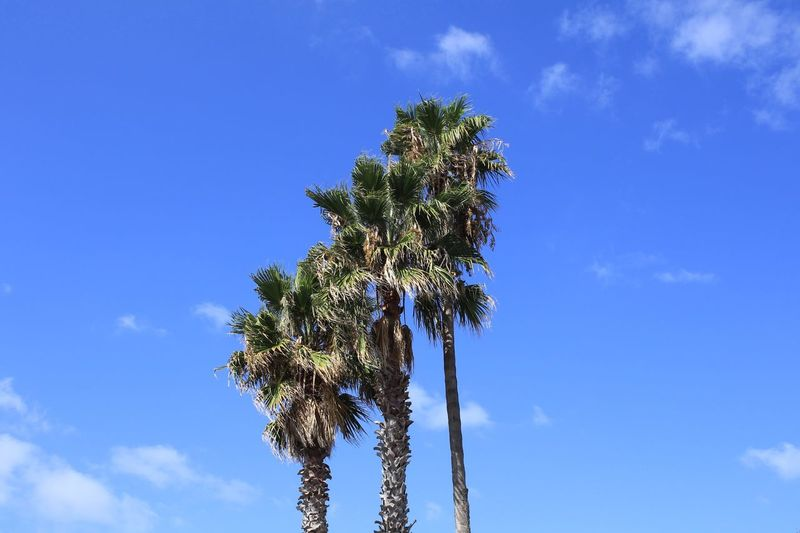 Three Palms Three Palm Trees Sky Plant Low Angle View Tree Nature Growth Beauty In Nature