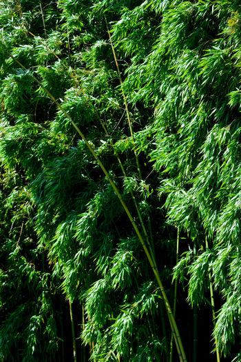 Full frame shot of bamboo trees