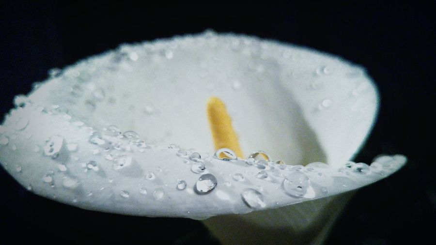 Close-Up Of Wet Calla Lily Against Black Background