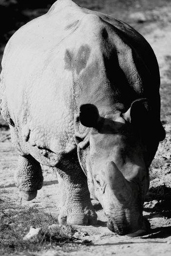 Shades Of Grey Rhinoceros Jungle VIP
