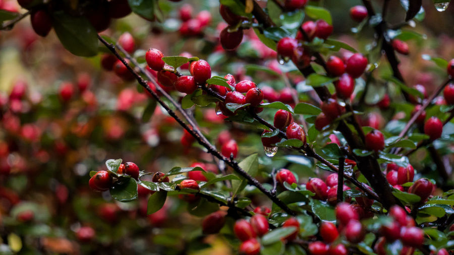 Fruit Red Berry Fruit Nature Close-up No People Branch Plant Tree Outdoors Food And Drink Beauty In Nature Freshness Growth Winter Day Leaf Cold Temperature