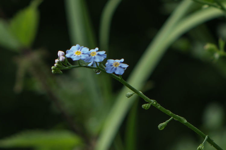 Close-up of forget-me-not plant