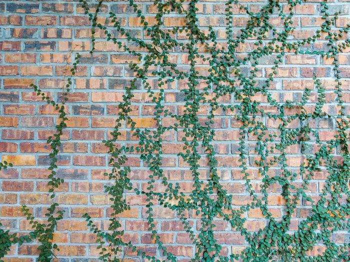 Creeper plants growing on brick wall