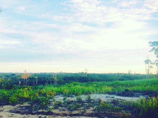 Kebun Kelapa Sawit Kutai Barat Kalimantan Timur INDONESIA Oil Palm Plantations Palm Trees