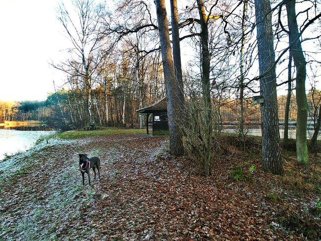 Peninsula with Bare Birch Trees In The Background Pond In The Woods Leafs On The Ground Winter Trees Big Dog In The Foreground Dogs Dogwalking Shortly Before Sunset Wintertime Trees Water Landscape Nature Beauty In Nature Outdoors Growth No People Birkenweiher Langenselbold Germany🇩🇪 Every Picture Tells A Story