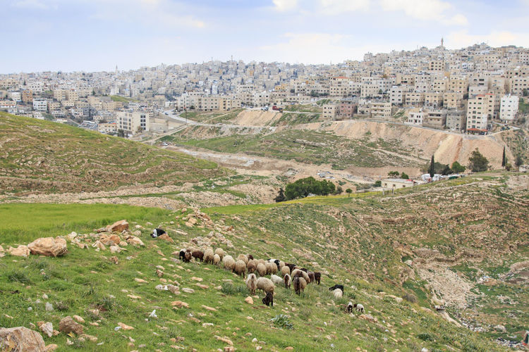 Sheep grazing on land against townscape
