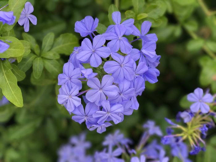 Plumbago Flower Purple Fragility Beauty In Nature Nature Petal Growth Freshness Plant Day Flower Head Outdoors Blooming No People Focus On Foreground Close-up