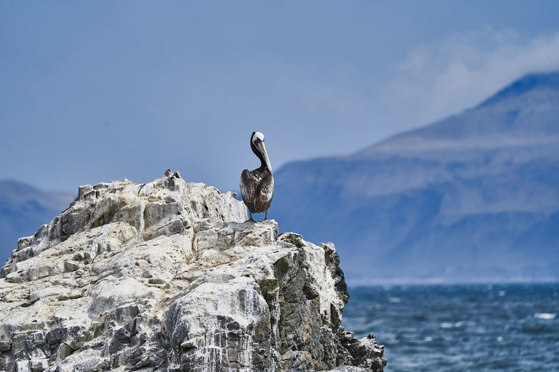 Seagull perching on rock in sea against sky