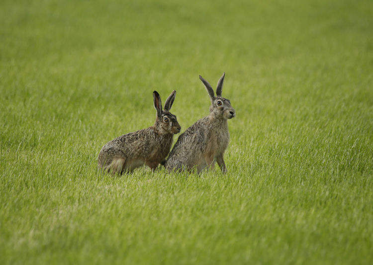 Two hare