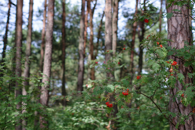 Red flowering trees in forest