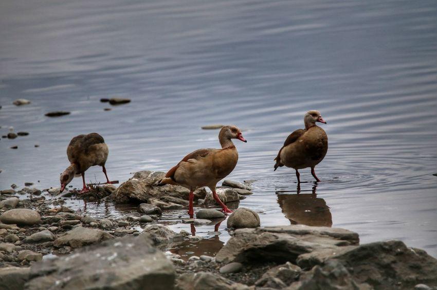 Alopochen Aegyptiaca Birdwatching Birds Ducks Ocaegiziana Bird Water No People Outdoors Nature Day