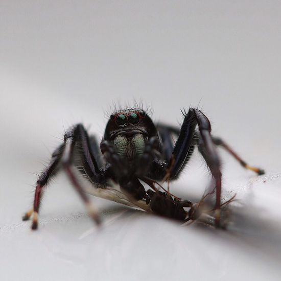 Close-up of jumping spider hunted prey on white surface