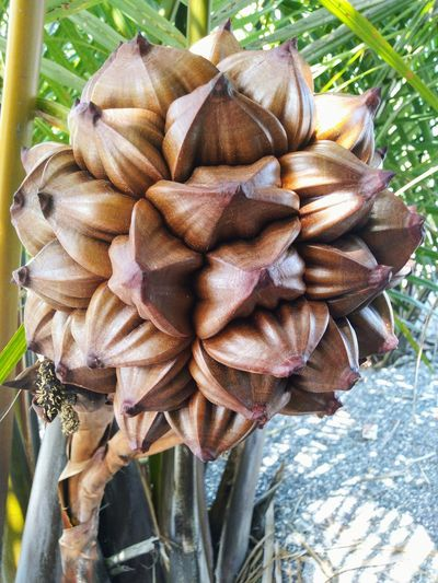 KUALA SANGLANG, KEDAH MALAYSIA 12 JUKY 2018 : Nypa Fruit Nypa Fruticans Nypa Fruticans Wurmb Fruit Palm Fruit Palm Tree Close-up Close Up Fruit Brown Fruits High Angle View Close-up Plant Pod Palm Leaf Palm Frond Summer Road Tripping The Street Photographer - 2018 EyeEm Awards The Traveler - 2018 EyeEm Awards The Photojournalist - 2018 EyeEm Awards The Still Life Photographer - 2018 EyeEm Awards The Great Outdoors - 2018 EyeEm Awards EyeEmNewHere