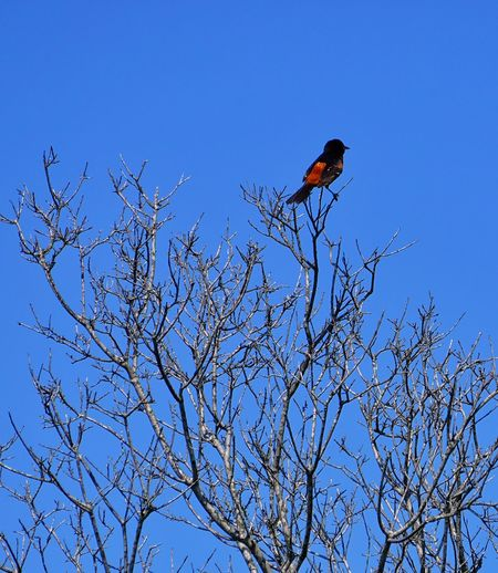 Must be an Oriole Birds Bird Photography Branches Orioles Snag EyeEm Birds Assateague