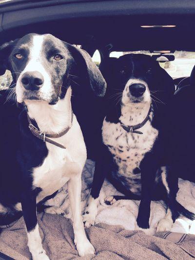 Sprollie Spaniel Dogs I Love My Dog Gorgeous Dogstagram