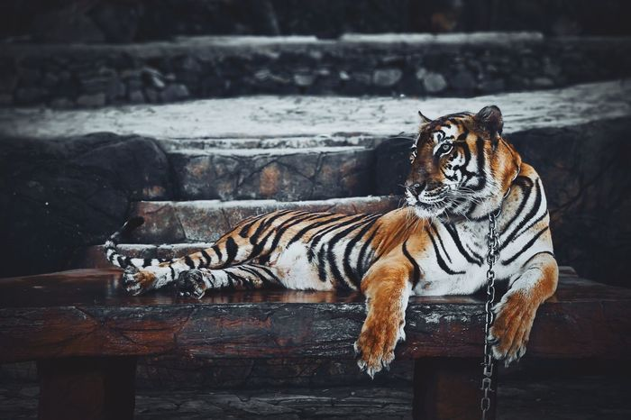 """""""You can subdue, but never tame me."""" Tiger Cats Animals Eyeem Best Shots - Animals"""