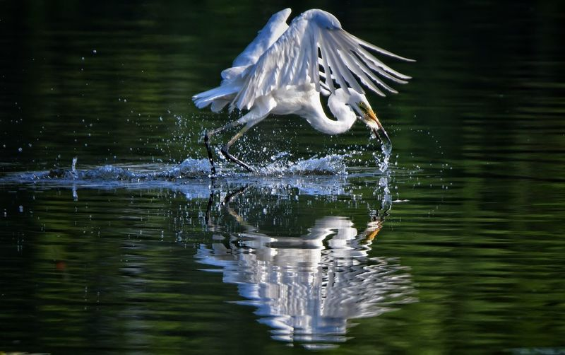 Great egret hunting fish from lake