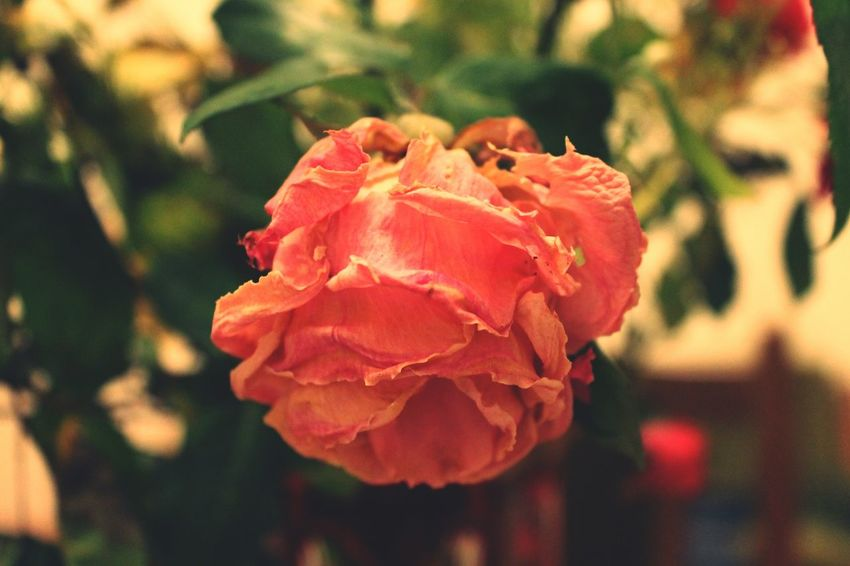 Dying process of a rose Flower Head Flower Water Red Petal Close-up Plant Single Rose In Bloom Rose - Flower Blossom Blooming Plant Life Botany Single Flower