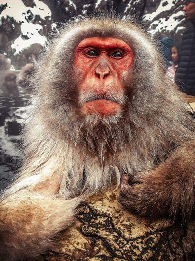 Monky Snow Monkey Japanese Macaque Onsen Hot Springs Jigokudani Spa Nagano, Japan IPhone5 IPhoneography