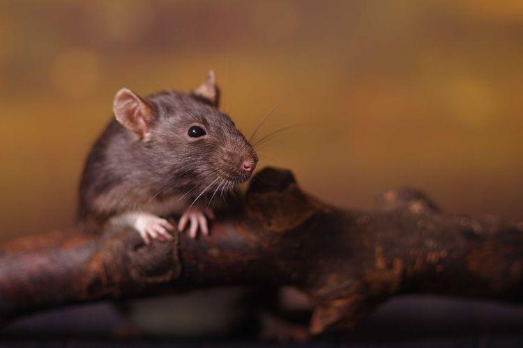 Close-up of rat on stick