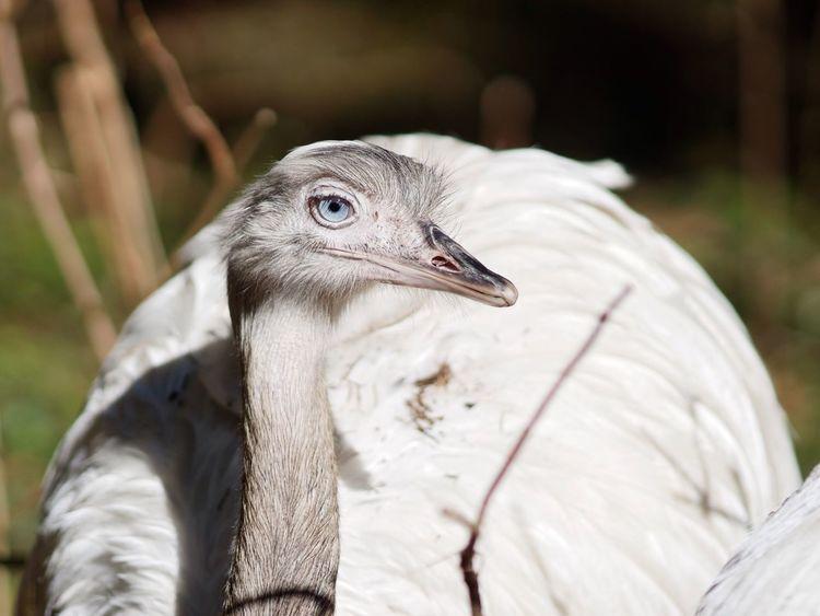 Good To See You Nandu Ostrich Blue Eyes