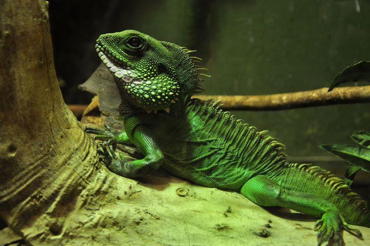 Portrait Iguana Blackpool Zoo M18 Photography