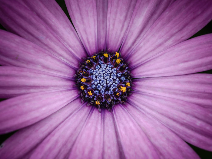 Backgrounds Beauty In Nature Close-up Day Flower Flower Head Flowering Plant Fragility Freshness Full Frame Growth Inflorescence Nature No People Osteospermum Outdoors Petal Plant Pollen Pollination Purple Vulnerability