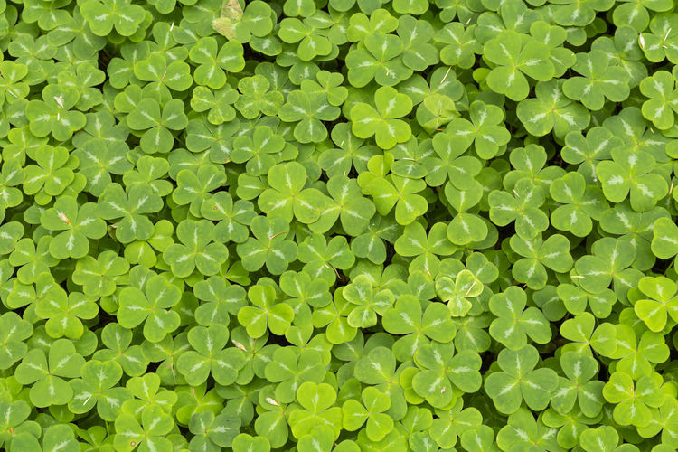 Close-up of a forest ground entirely covered with a multitude of lush green clover