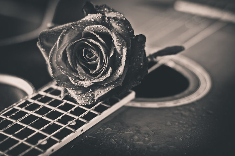 Close-up of rose on a guitar