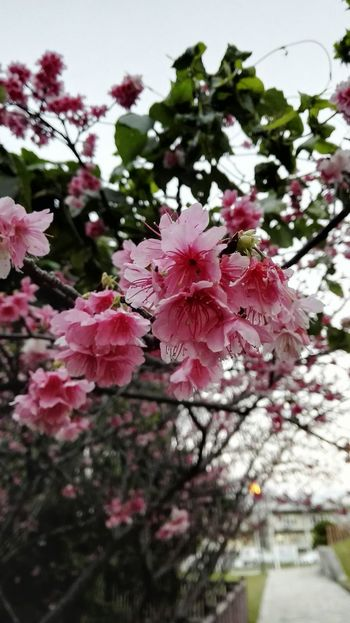 Japanese SAKURA from Okinawa Flower Fragility Beauty In Nature Freshness Growth Nature Pink Color Tree Day Petal No People Springtime Blossom Branch Outdoors Close-up Flower Head Blooming