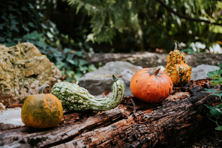 Close-up of pumpkins on tree