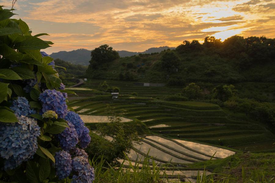 棚田の夕景 大阪府唯一の村、千早赤阪村 TANADA:Terraced rice fields Osaka Japan Aerial ShotFrom My Point Of View Sunset Catch The Moment Magic Hour Hydrangea Pastel Pastel Power OSAKA Japan 43 Golden Moments Ultimate Japan Colour Of Life My Fevorite Place