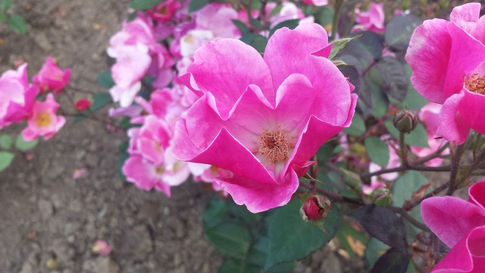 Roses Hearts Heart Shape Heartwarming Hearts In Nature Heartful Heart Flower Flower Pink Color Petal Nature Plant Focus On Foreground No People Beauty In Nature Fragility Outdoors Close-up Growth Freshness Day Flower Head