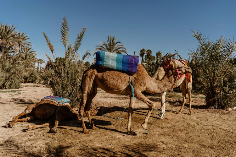 Marrakesh Marrakech Tourist Attraction  Travel Destinations Travel Photography Morocco Animal Themes Domestic Animals Field Sunlight Arid Climate Climate Palm Tree Plant No People Desert Clear Sky Mammal Sand Land Day Camel