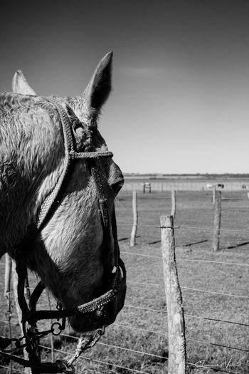 Animal Head  Argentina Photography Blackandwhite Photography Campo Argentino Gaucho Argentino Gauchos Hombre De Trabajo Horse Man And Horse Trabajo De Machos  Trabajo Duro Vidagaucha Working Animal
