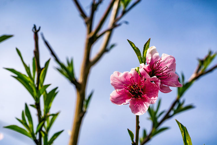 A photo of some pink flowers against the blue sky. although not a minimal composition, it is simple enough and connotes the subject from the first glance. Beauty In Nature Blooming Branch Close-up Day Flower Flower Head Fragility Freshness Greece Growth Nature No People Outdoors Peach Petal Pink Color Plant Sky Springtime Tree