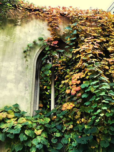Close-up of ivy growing on building