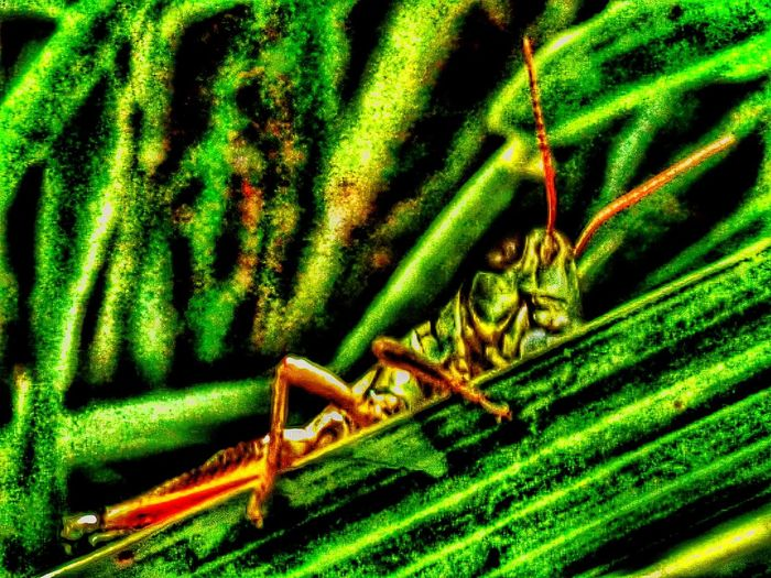 Insects  Grasshopper